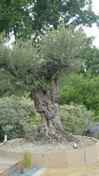 Plantation d 39 un olivier vignoc artisan paysagiste rennes bretagne - Entretien d un olivier ...