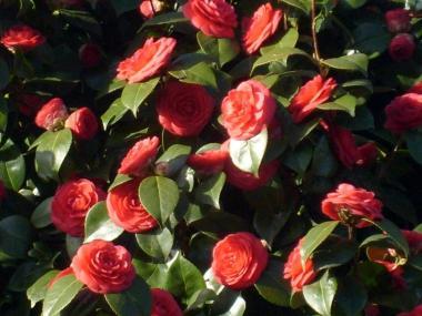 Fleurs de Camelia - Rennes