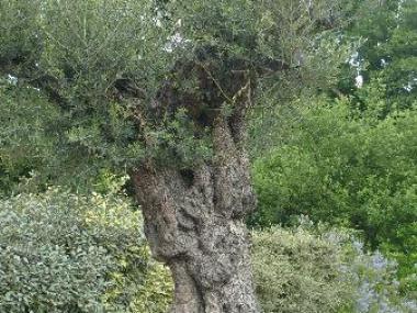 Plantation d'un olivier - Vignoc