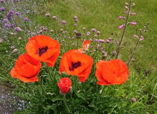 Fleur de Pavot - Rennes